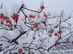 みしらず柿への積雪何cm?