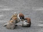 スズメの死闘