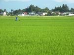 今日の田んぼの風景