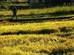 息子の稲刈り作業を見守る父