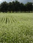大沢の蕎麦畑