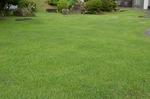 今朝の芝生