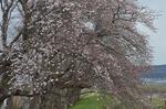 いつもの通勤路の桜も咲き始めました・・・